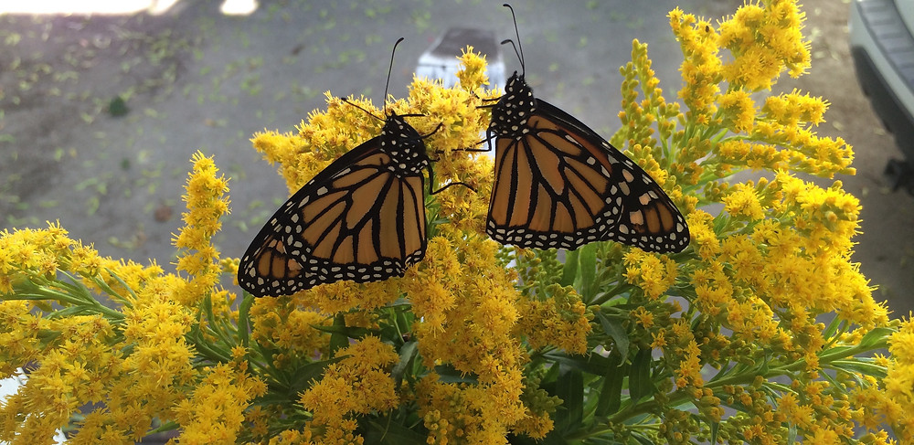 Monarch Females.