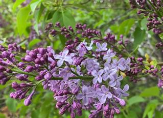 Late Spring's Garden Timeline