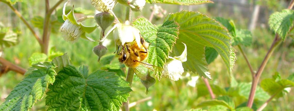 Bee on Raspberry Blossom