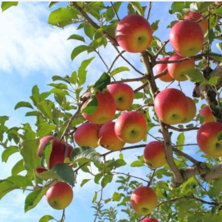 사과나무 키우기