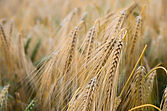 brown-wheat-plant-454509.jpg
