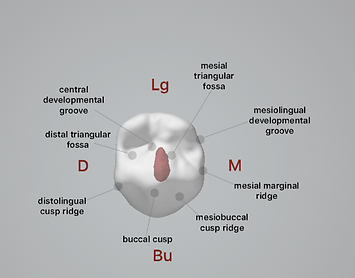 dental anatomy online course.png