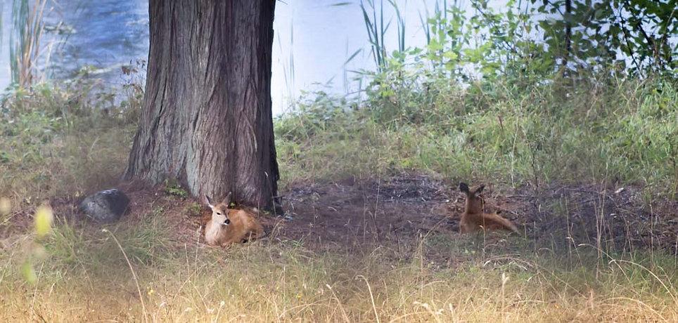 Two deer resting beneath tree near Victoria BC