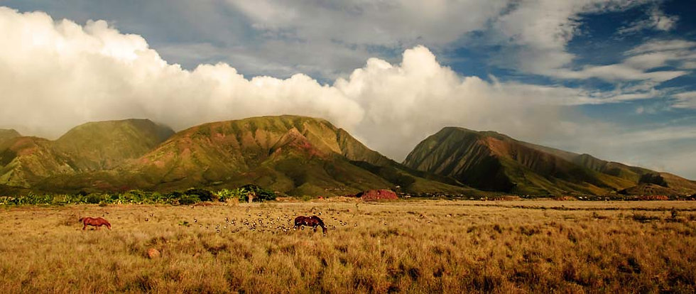 Horses in yelow pasture beneath Maui mountains