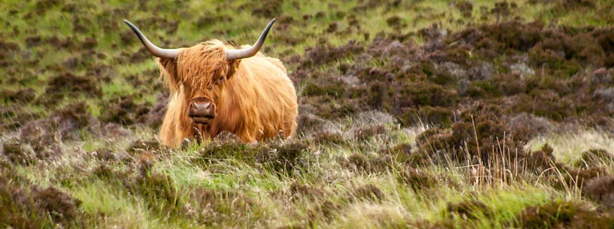 Highland cow in Scottish pasture
