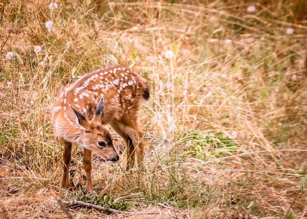 A fawn staning among flowers and grass