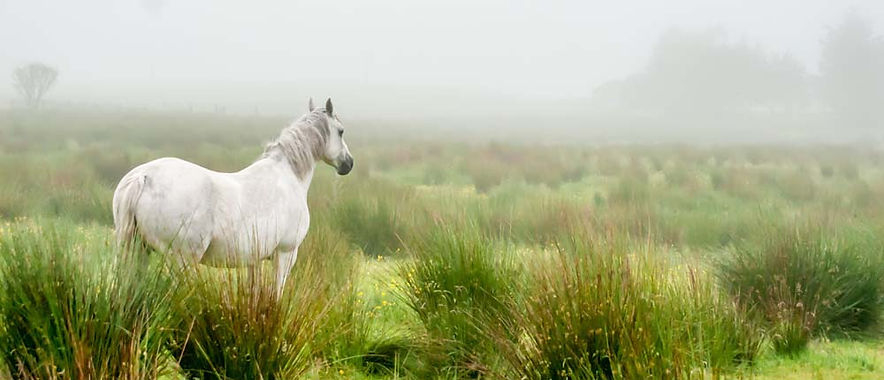 White horse looks out over misty field in Ireland