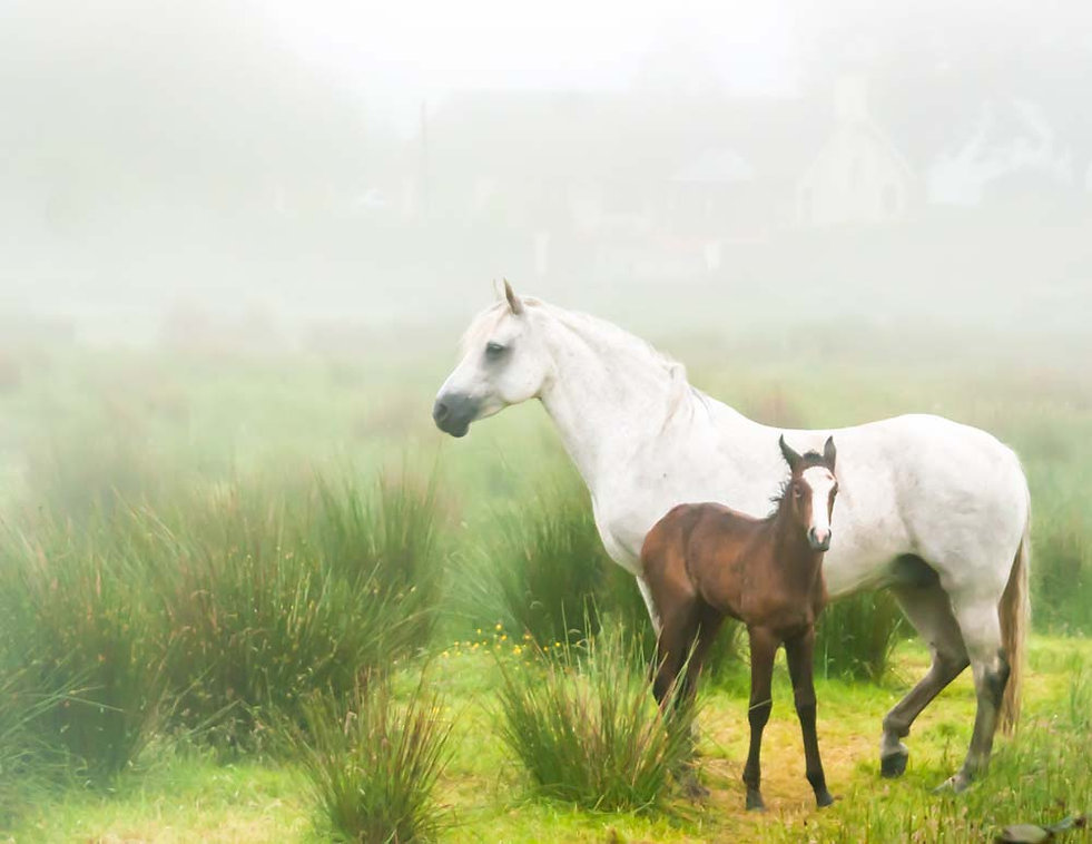 Tiny foal leans into White mother horse in misty field in Northern Ireland