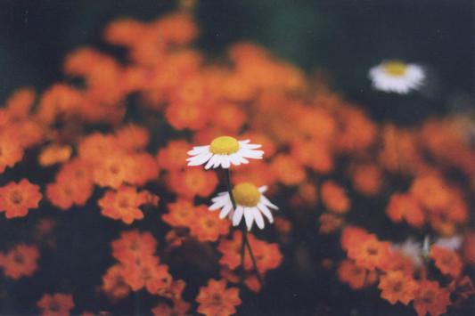 Daisy_Red.jpg