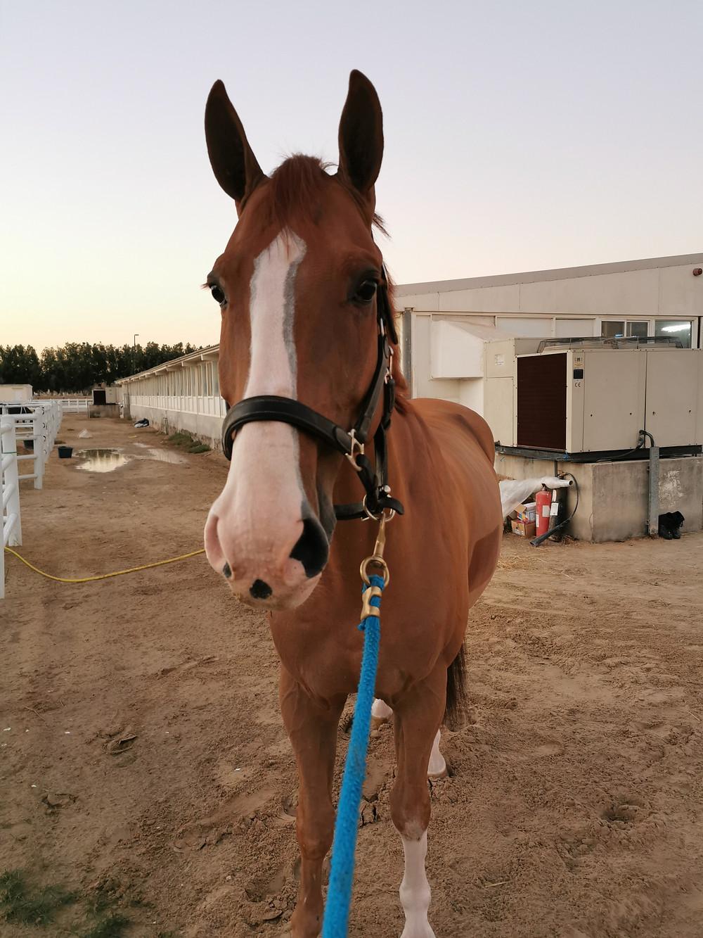 Chestnut horse, gelding, oldenburg