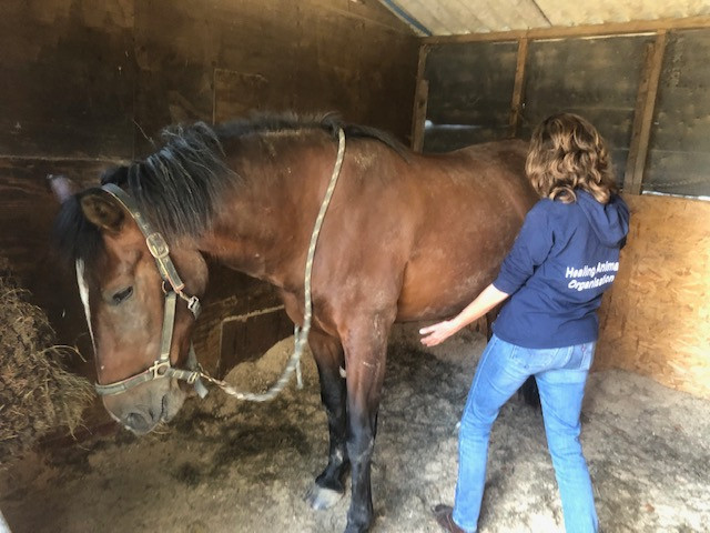 reiki for horses, horse body work, natural horse therapy. equestrian therapy