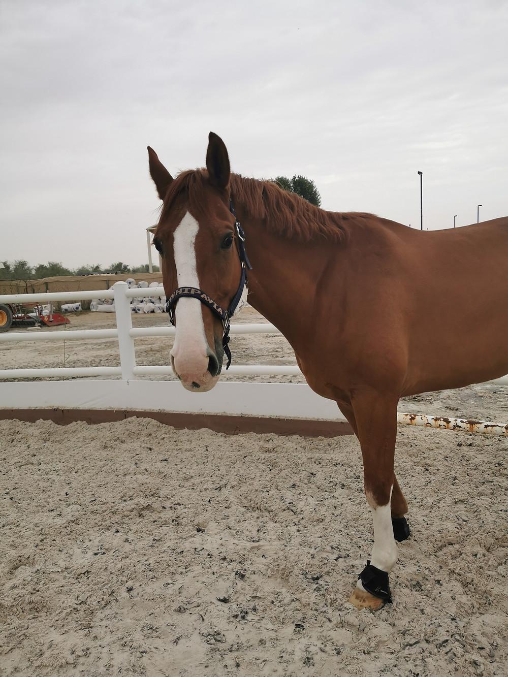 Chestnut horse, oldenburg