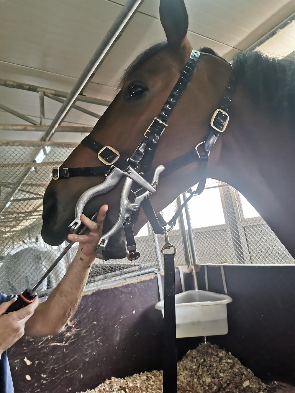 horse, horse teeth, equine dentist