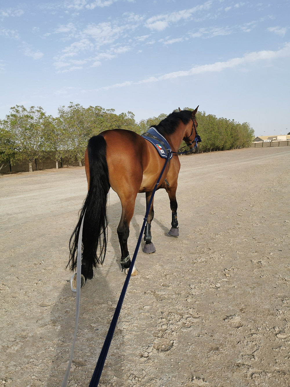 bay horse, kwpn, long line, long rein, emirates, equestrian center