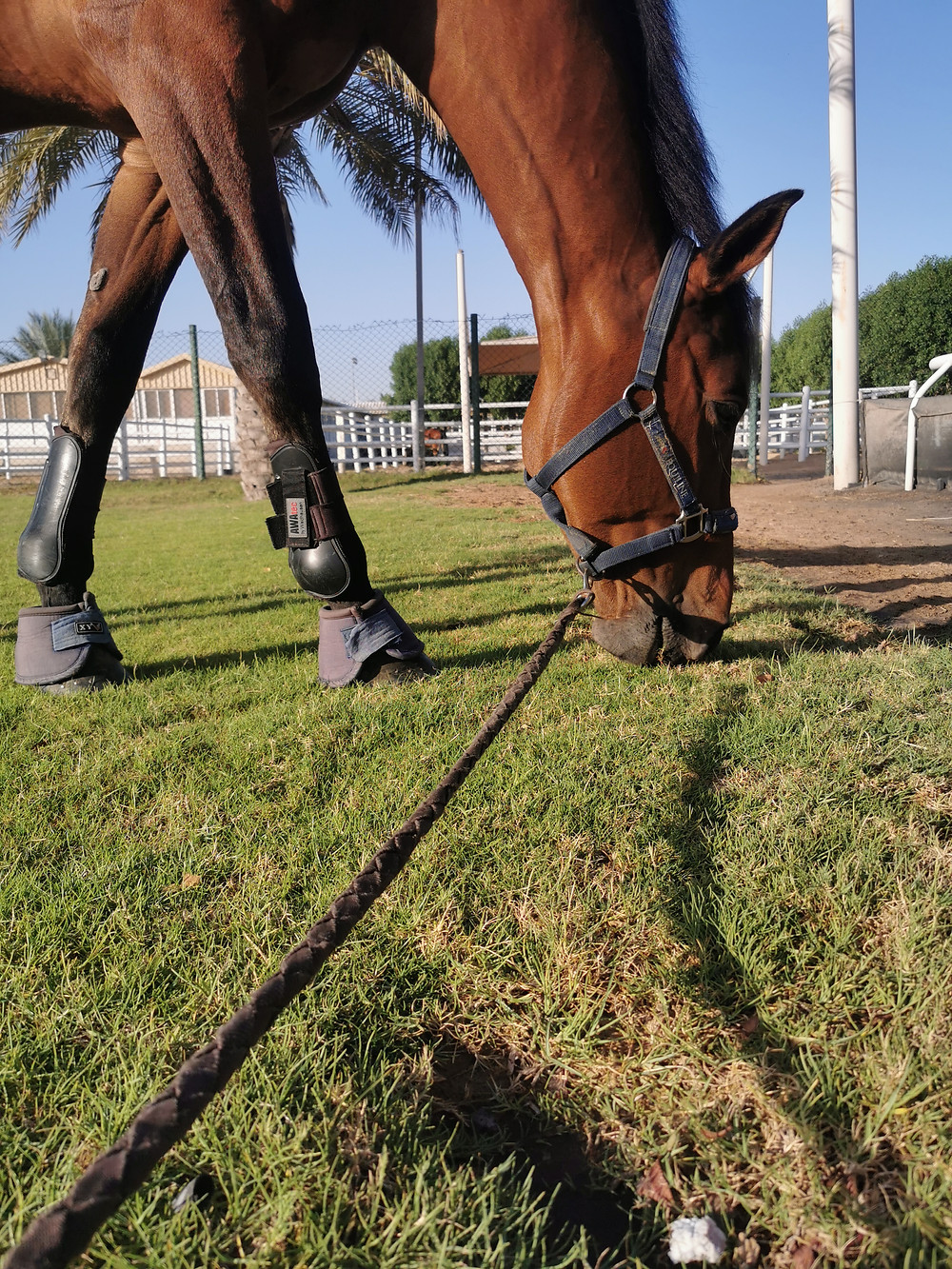 Horse eating, horse grazing, bay horse, Emirates Equestrian Center