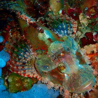 Camouflaged Stonefish
