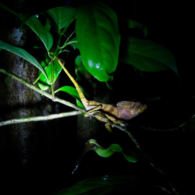 Jungle Lizard At Night