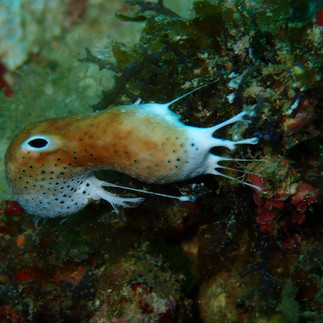 Toasted Marshmallow Nudibranch