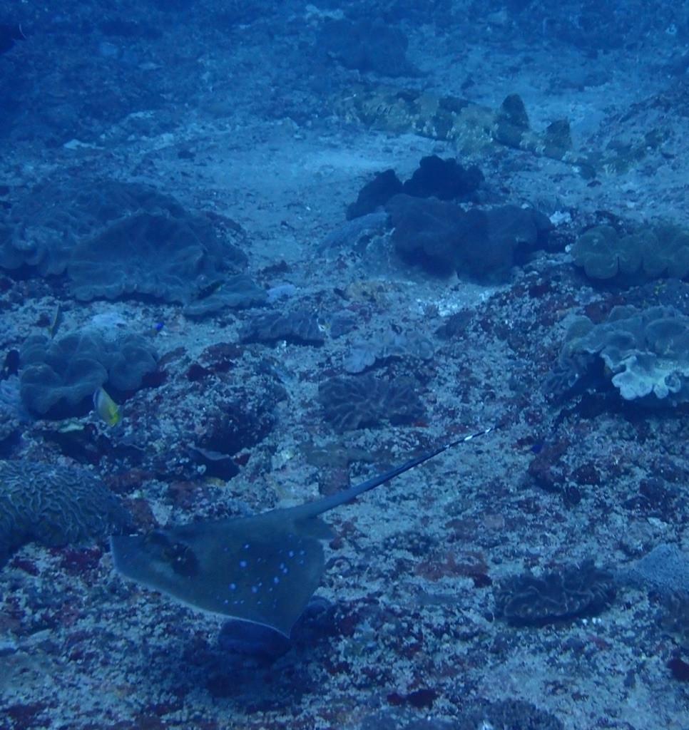 wobbegong shark and blue spotted ray, Nusa Lembongan