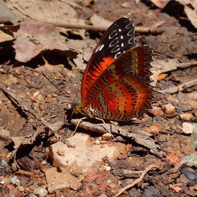 Jungle Butterfly