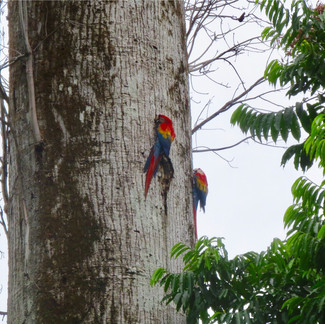 Couple of Macaws