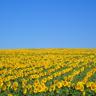 Sunflowers in Sunshine