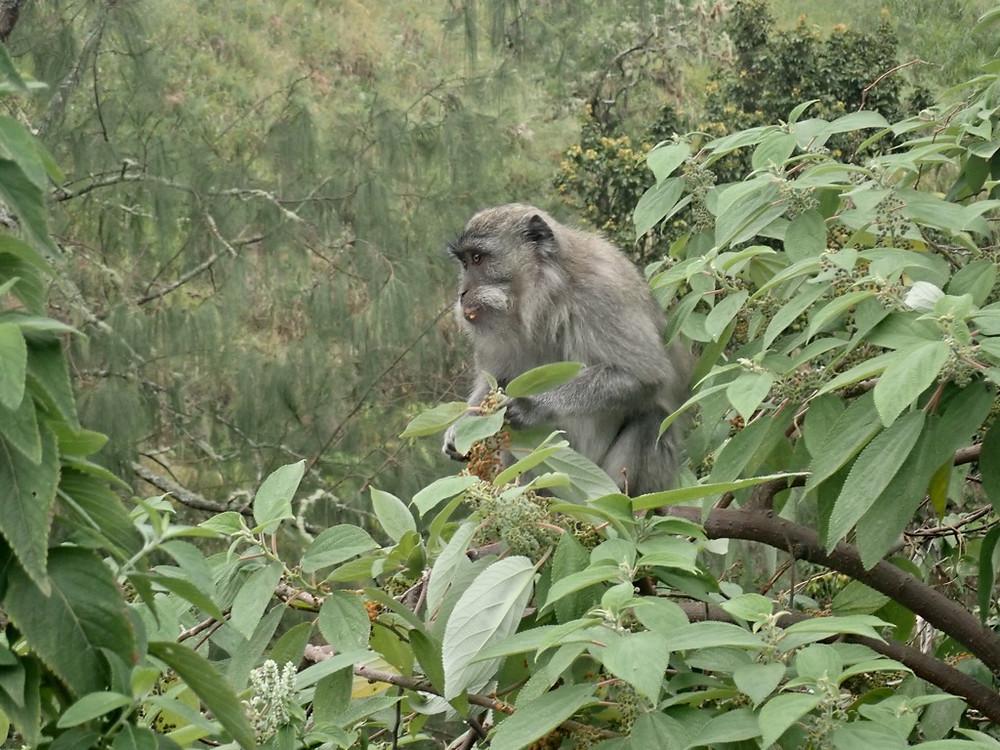 Monkey, Sembalun, Lombok, Indonesia