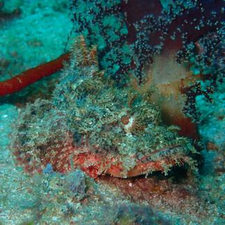 Tiny Stonefish