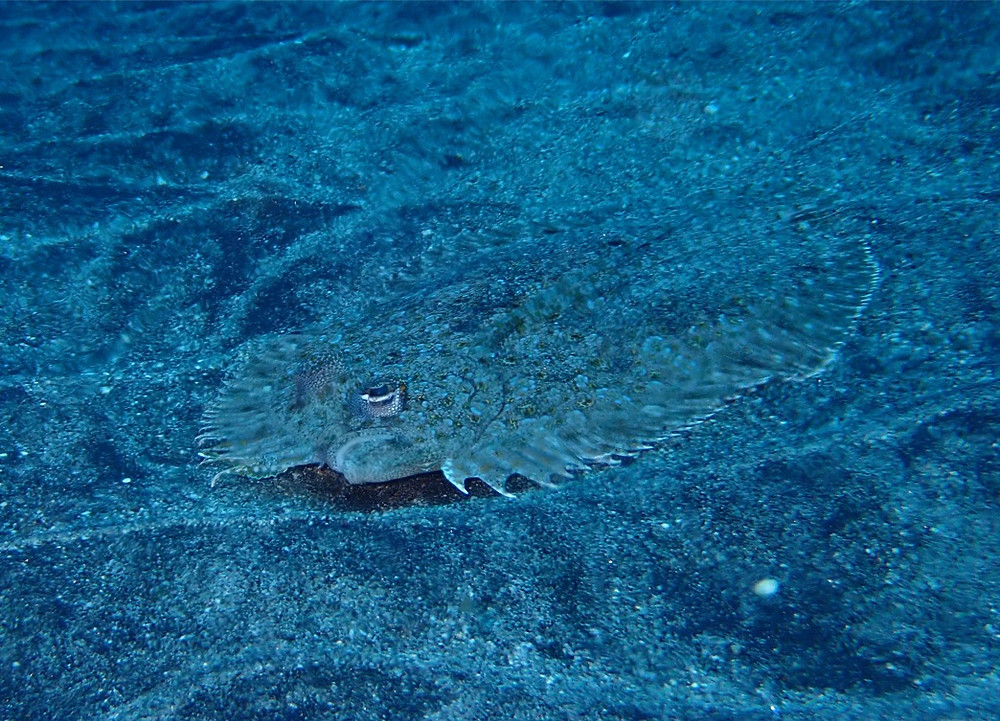 flat fish, Nusa Lembongan