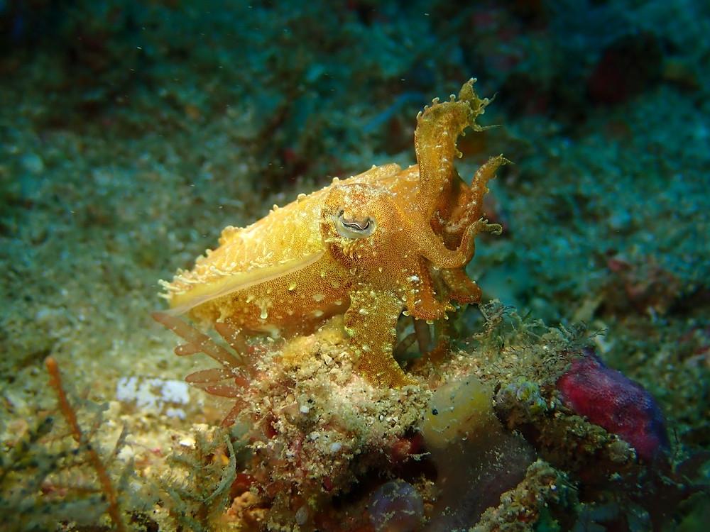 tiny cuttlefish, Gili Gede, Indonesia