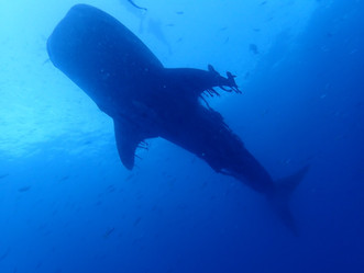 Whale Sharks and Group Sex in Thailand