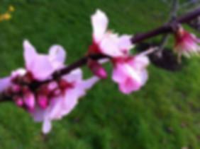 IMG_1453a - Almond Blossom.jpg