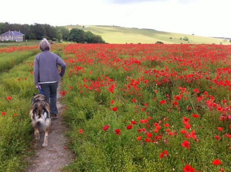 IMG_1833a - Poppies, The Trundle, Singleton.JPG