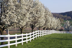 Row of Dogwood Trees blossoming in sprin