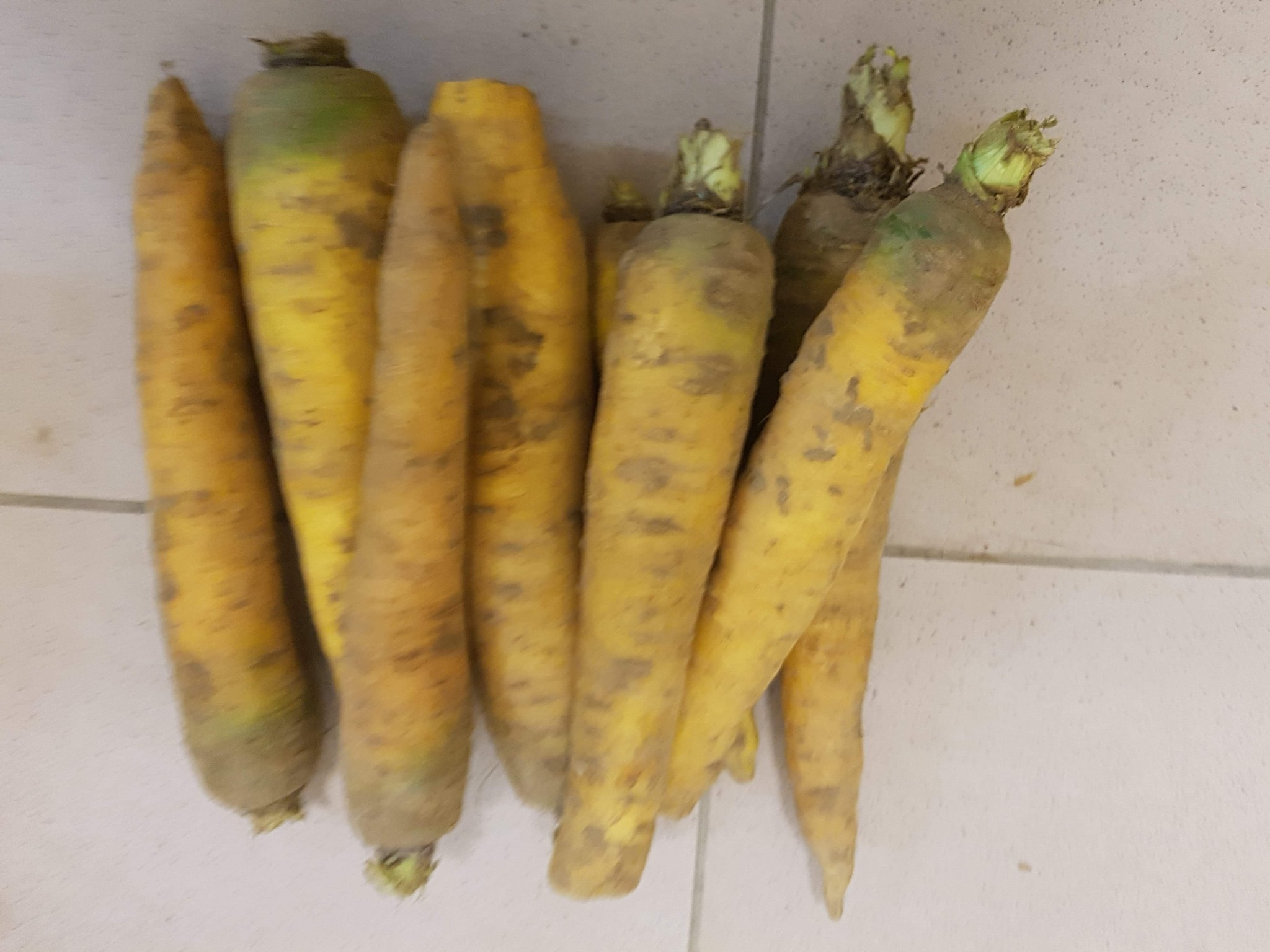 carottes jaune