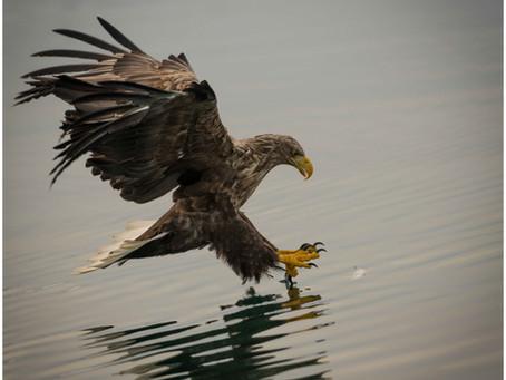 The majestic Sea Eagle pin sharp
