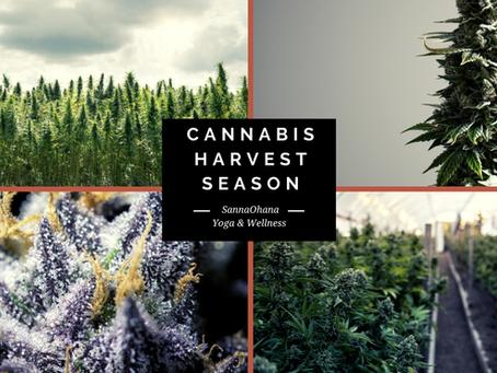 Cannabis Harvest Season