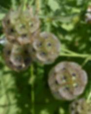 Starflower Scabiosa Stellata