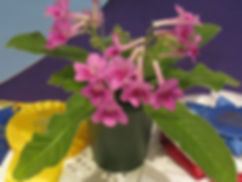 27b--Streptocarpus 'Little  Red'.JPG