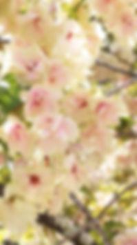 開運壁紙・鬱金桜①(金櫻神社)
