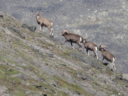 snow sheep hunting kamchatka