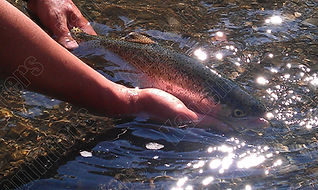 kamchatka rainbow trout fishing.jpg