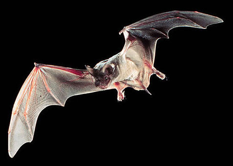 Mexican Free Tailed Bat.jpg