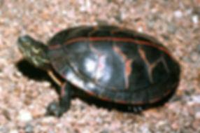 Painted Turtle.jpg