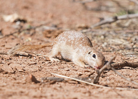 Spotted Ground Squirrel.jpg