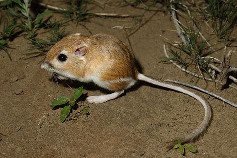 Ord's Kangaroo Rat.jpeg