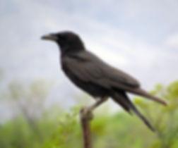 Chihuahuan Raven.jpg