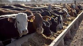 Feedlots encierran menos y producen ganado más liviano