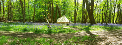 Bell tents and bluebells