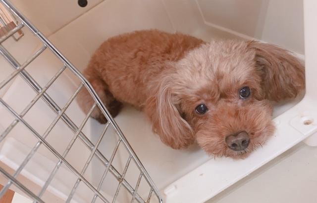 ワンちゃんハウストレーニング♪無駄吠え・要求吠え…犬の保育園★しつけ・ドッグトレーニング・新潟市・出張トレーニング